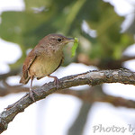 House Wren - Minnie's farm