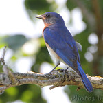 Eastern Bluebird - Minnie's farm