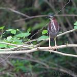 Green Heron - Roaring River