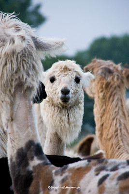 Llamas, Dane County, Wisconsin
