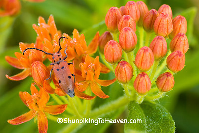 Red Milkweed Beetle on Butterfly Weed, Leopold Memorial Reserve, Sauk County, Wisconsin