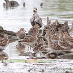 American Golden Plover and Pectoral Sandpipers