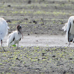 Wood Storks • Monroe County, ILLINOIS