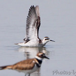 Red-necked Phalarope and Killdeer
