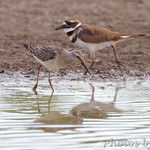 Stilt Sandpiper and Killdeer
