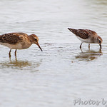 Pectoral and Least Sandpiper