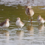Stilts and Least Sandpiper