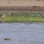 Marbled Godwit and Black Tern