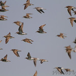 Sandpipers in flight