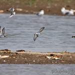 3 Rudy Turnstones and Killdeer