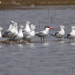 Caspian Tern and Ring-billed Gulls