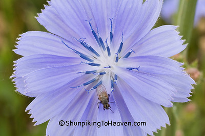 Chicory, Lafayette County, Wisconsin