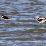 Black-necked Stilts and American Avocet