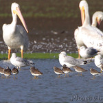 Lesser Yellowlegs, Ring-billed Gulls and American White Pelicans
