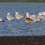 Marbled Godwit and Ring-billed Gulls