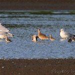 Stilt Sandpipers and Marbled Godwit