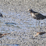 American Golden Plover and Killdeer