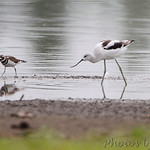 American Avocet and Killdeer