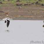 American Avocet and Blue-winged Teal
