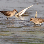 White-rumped or Pectoral Sandpiper?