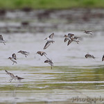Sandpipers over Heron Pond