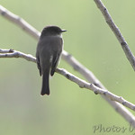 Flycatcher sp.