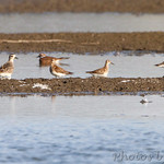 American Golden Plover and Stilt Sandpiper