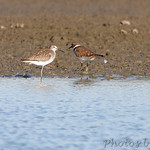 Lesser Yellowlegs and Killdeer