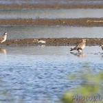 American Golden Plovers, Stilt Sandpiper, Pectoral Sandpipers and Killdeer