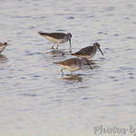 Stilt Sandpipers and Lesser Yellowlegs