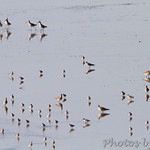 Sandpipers in Sandy Slough