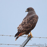 Dark-morph Red-tailed Hawk