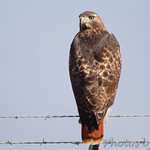 Red-tailed Hawk Airport fence Natural Bridge Road Bridgeton, Mo.