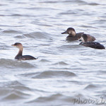 Black Scoters and Pied-billed Grebe