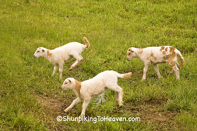 Leaping Lambs, Iowa County, Wisconsin