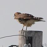 Red-Shoulder Hawk