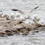 Franklin's & Ring-billed Gulls