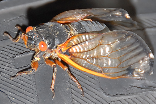 Cicada on a Car Tire