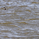 Black Scoters and Lesser Scaup