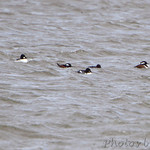 Common Goldeneye and Hooded Mergansers