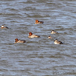 Redhead and Ruddy Ducks