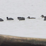 Surf Scoters and American Coot