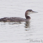 Common Loon in Teal Pond