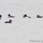 Surf Scoter, Common Goldeneye and Hooded Mergansers