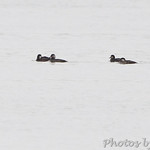 Four Black Scoter's Lincoln Shields Area