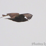 Western Dark-morph Red-tailed Hawk in Bridgeton