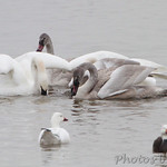 Trumpeter Swans and Snow Geese