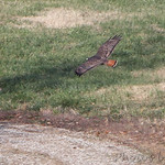Dark-morph Western Red-tailed Hawk