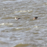 Long-tailed Duck and 4 Surf Scoters