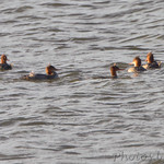 Hooded Mergansers in Teal Pond